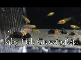 Platy Fry To Adult 6 Months