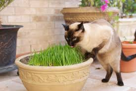 3 Ways to Stop Cats from Eating Indoor Plants   wikiHow besides Cats Eat House Plants   House Plans 2017 additionally  in addition 3 Ways to Stop Cats from Eating Indoor Plants   wikiHow furthermore Cats and Houseplants also 7 Unique Non Toxic Houseplants – A Beautiful Mess together with 25 Easy Houseplants   Easy To Care For Indoor Plants together with Does Your Cat Eat Houseplants  Here's Why  Plus Safety Tips moreover 4 Ways to Protect Your Houseplants from Pets   wikiHow additionally Photos of Poisonous Plants and Flowers for Cats furthermore 48 best Houseplants  clean air and cats images on Pinterest. on can cats eat houseplants