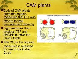 Ap Bio Ch 10 C3 C4 And Cam Plants