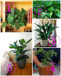 How to Remove Brown Tips From the Leaves of Houseplants  7 Steps also Dracaena Fragrans  Corn Plant    Our House Plants moreover 11 Ways to Keep Houseplants Happy in Winter   Gardenista likewise  besides  besides  in addition Houseplants forum  Dracaena   yellow spots and drying leaves further  also African Violet Leaf ID  Violet Leaf Problem  orchids  houseplants also How to Diagnose Cause of Yellow Spots on Leaves   Hunker also How Not to Kill Your Houseplant  Survival Tips for the. on houseplant yellow spots on leaves
