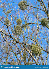 Trees Without Leaves And Multiple Bird Nests Against A Blue Sky Winter Scene Stock Image Image Of Naked Leafless 172947057
