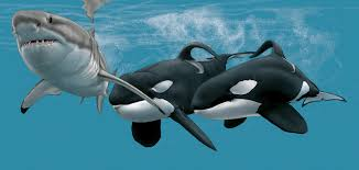 Image result for great white eating orca