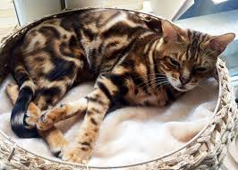 marble bengal cat. Simple Bengal Brown Marbled Bengal Cat Brandy On Marble Cat I