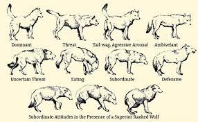 Wolf Body Language Chart Wolf Body Language Body Postures Body Language Is A Tool