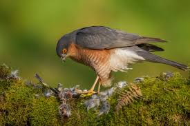 7 Sparrowhawk Facts You Need To Know Discover Wildlife