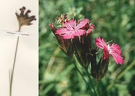Dianthus carthusianorum L. subsp. tenorei (Lacaita) Pignatti ...