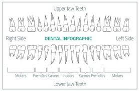 Dental Chart Adult International Tooth Chart Illustration Editable Image