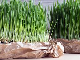 Wheatgrass Nutrition Chart Wheatgrass Benefits Nutrition Side Effects And Warnings