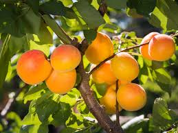 Homelife  How To Care For Fruit Trees In WinterFruiting Trees