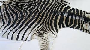 real zebra skin rug uk amazing black and white for living room decor post with polypropylene