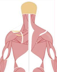 Muscular System Human Anatomy Getbodysmart