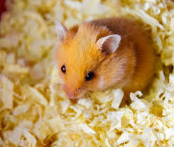 does bedding keep hamsters warm great
