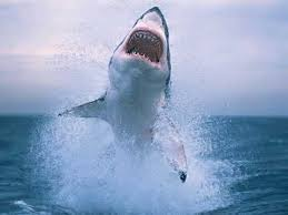 great white shark jumping out of water planet earth. Shark Caught Jumping Out Of Water In Slow Motion Great White Planet Earth