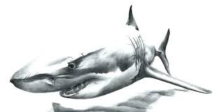 Outline Of A Shark Shark Outline Large Drawing Of A Great