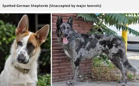 black and white spotted german shepherd. Unique White Source In Black And White Spotted German Shepherd N