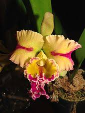 a brolaeliocattleya blc paradise jewel flame hybrid orchid blooms of the cattleya alliance are often used in las corsages