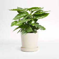 The original home of the coffee plant is africa. Live Coffee Plant In Bryant Planter By The Sill Crate And Barrel
