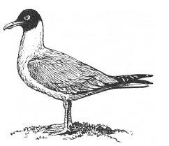 Реферат Поведение чайки сочинение изложение работа доклад  реферат