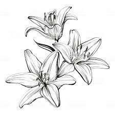 цветочный цветущие лилии векторные иллюстрации нарисованные от руки