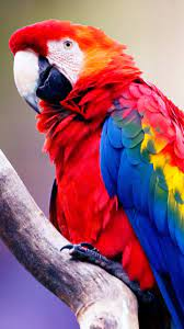Macaw Parrot Hd Wallpaper For Mobile ...