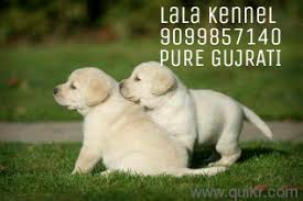 navsari navsari 9099857140 all pet s dog s dog pet s puppies pitbull pug zu rottweiler zu doberman golden