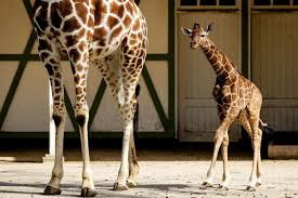 Image of: Neck Update April The Giraffe Is Pregnant Againand Everyone Should Feel Sick Peta April The Giraffe Is Pregnant Againand Everyone Should Feel Sick Peta