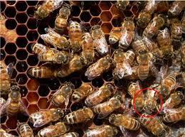 Ipm 2 Fighting Varroa 2 Choosing Your Troops Breeding Mite