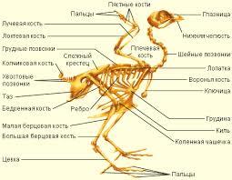 Опорно двигательная система птиц  Строение скелета птиц