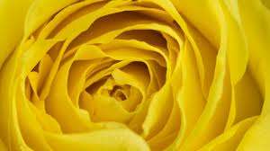 flowers yellow rose wallpaper