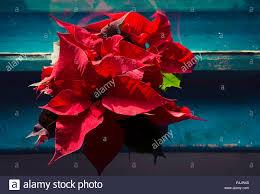 Schönen Weihnachtsstern Oder Weihnachten Blumen Am Fenster