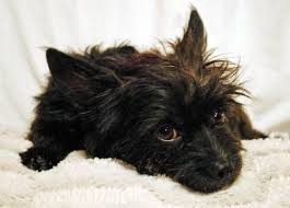 black cairn terrier mix. Interesting Cairn More Pics On Black Cairn Terrier Mix