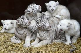 baby white tigers for sale. Exellent Sale BABY TIGER FOR SALE Intended Baby White Tigers For Sale