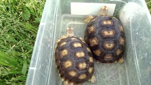 April 18 2011 Daily Soaking African Sulcata Tortoises