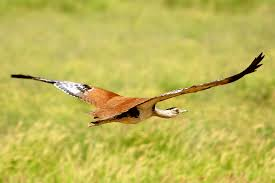 Image result for great indian bustard