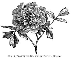 Black And White Botanical Drawings Hd Wallpapers