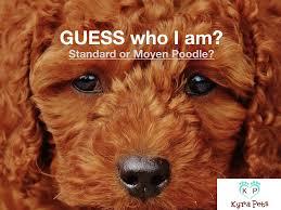 Moyen Poodle The Definitive Guide Kyra Pets