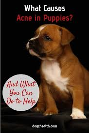 puppy acne symptoms causes and