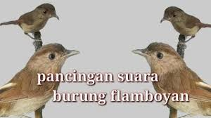 Cukup perhatikan burung dari luar sangkar, anda tidak perlu memegang si burung. Suara Panggilan Burung Flamboyan Mp3 Storymusik