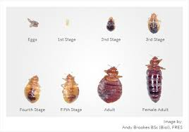Bed Bug Types Pictures Bangdodo