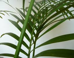 ... Large-size of Special Dots On Palm Tree Identification What Are Se Hard  Spots Growing ...