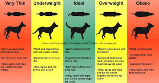 How To Determine Ideal Weight In A Dog (Thin, Ideal, Obese ...