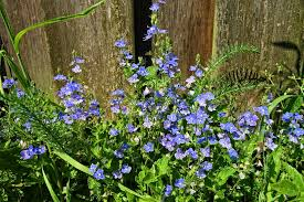 a spiky plant which has small blue blooms on the end they can get up to 3 feet tall and bloom all season long they are perfect for anyone trying to