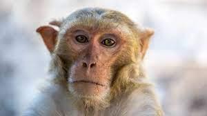 """ما هو الفيروس """"القردي"""" الذي قتل طبيبا صينيا وشغل العالم؟"""