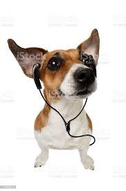 Foto de Jack Russell Terrier Cachorro Com Fones De Ouvido e mais fotos de  stock de Animal - iStock