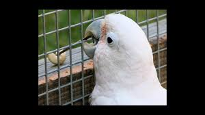 Image result for cockatoo
