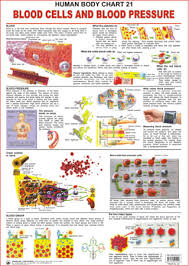 Buy Human Body Charts Blood Cells And Blood Pressure At Rs 112 00