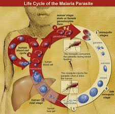 essay on malaria the posters literature review on malaria  mosquito malaria theory