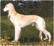 saluki dog. the saluki dog breed
