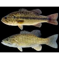 Bass Species Chart Species A Z Mdc Hunting And Fishing