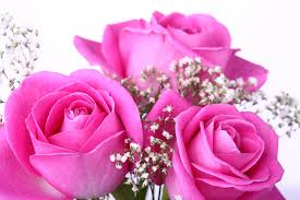 pink roses pictures hd wallpapers
